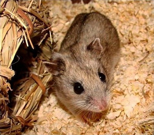 How Long Do Hamsters Live? They Live Longer as Pets