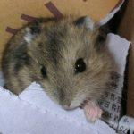 Korean hamster