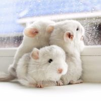 How Many Babies Do Chinchillas Have