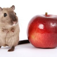Can Hamsters Eat Apples?
