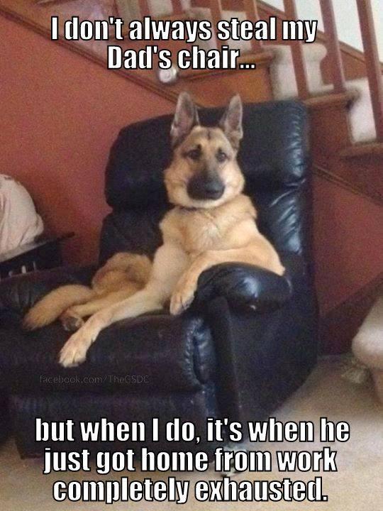 Funny German Shepherd Memes Pictures Dad's Chair