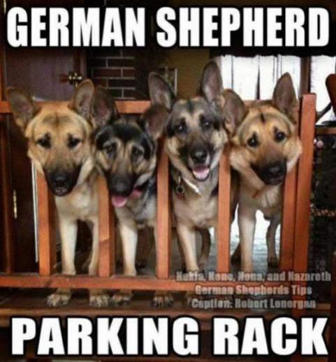 Funny German Shepherd Memes Pictures Parking Rack