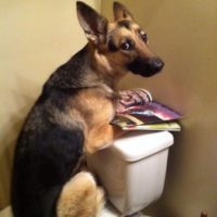 Funny Germnan Shepherd Memes Pictures Toilet