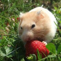 Can Hamsters Have Strawberries?