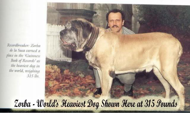 Heaviest Dog in the World