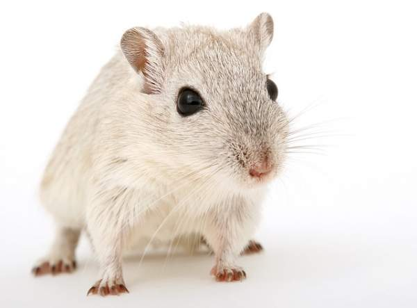 Do Gerbils Smell? Here is Why They Don't | PetAnimalGuide com